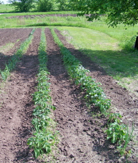 rows-of-taters